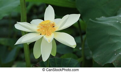 beautiful lotus flowers blooming at pond
