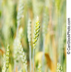 Green wheat in field, background