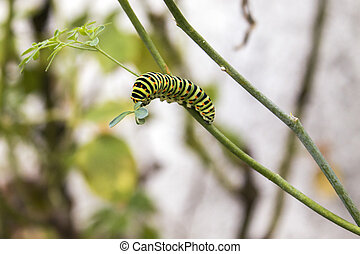 Papilio machaon butterfly caterpillar eating Ruta...