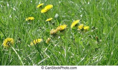 Dandelion field in the wind footage