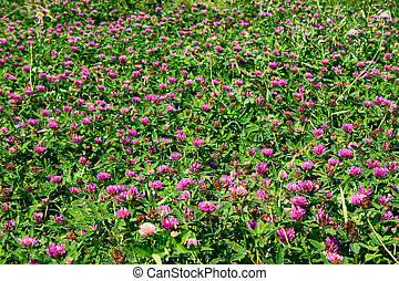 Background from a clover removed by a sunny day close up