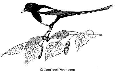 Black-billed Magpie Pica hudsonia on alder