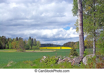 Landscape with yellow rapeseed flowers Brassica napus,...