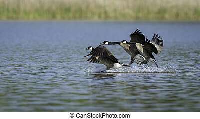 Geese Landing - Canadian geese landing in a lake in the...
