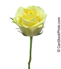 yellow-green rose - half opened yellow-green rose isolated...