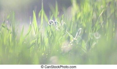 Grass backlit. Long blades of fresh grass full of sunshine...