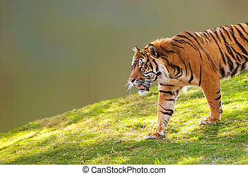 Sumatran Tiger on Hill Closeup - Large Sumatran tiger...