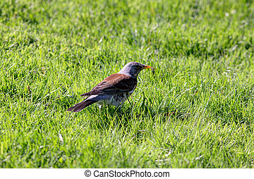 snowbird on the green grass - snowbird on the green spring...