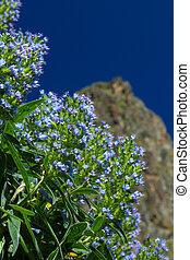 Gran Canaria, Valsequillo municipality, Echium callithyrsum;...