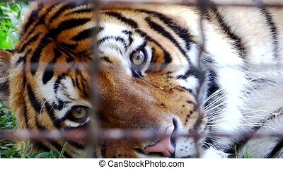 tiger in captivity - sad tiger in a zoo close up