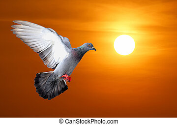 flying pigeon with beautiful sunset background