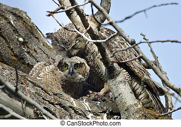 Young Owlet Making Eye Contact While Being Groomed by Mom