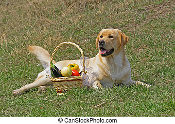 Labrador and With a basketof fruits on the grass
