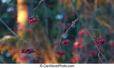 Rowan Berries on a Tree in Winter Forest During Sunset,...