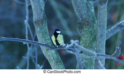 Great Tit Bird Parus major Eating in Winter Forest -...