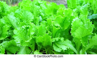Green Salad Leaves Macro Shooting - Green Salad Leaves Macro...