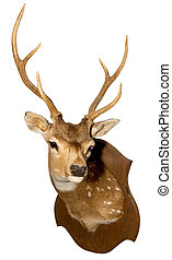 Mounted Axis Deer on a white background