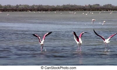 flying flamingos - pink flamingos colony
