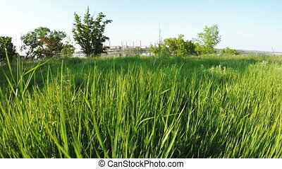 Tall grass on river bank - On coast of Dnepr growing high...