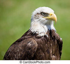 american bald eagle - image of a bird of prey over a natural...