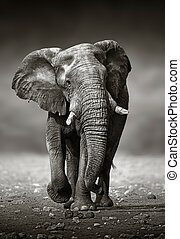 Elephant approach from the front - African Elephant...