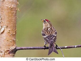 Redpoll Carduelis flammea closeup on a branch