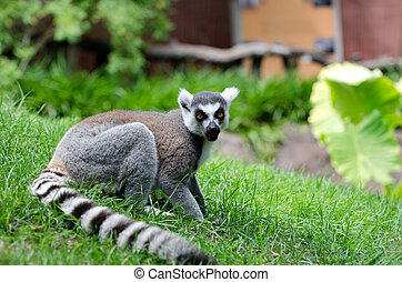 Ring Tailed Lemur - Ring Tailed lemur in captivity