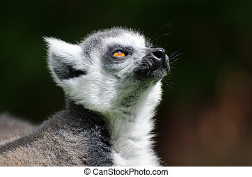 Ring Tailed Lemur - Ring Tailed lemur close up of head and...