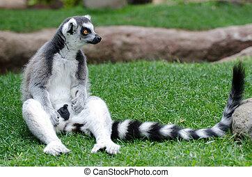 Ring Tailed Lemur - Ring Tailed lemur in captivity