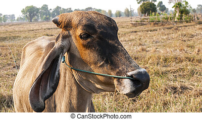 norteamericano, Primer plano,  brahman, vaca, ganado