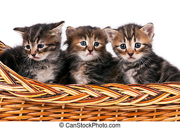 Siberian kittens - Cute siberian kittens in a wicker basket...