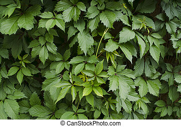 Bright leaves of wild grapes - Motley green background of...