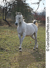 White arabian stallion running alone in autumn