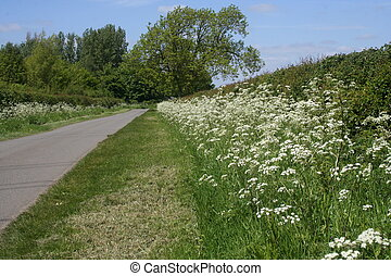 Cow Parsley, anthriscus sylvestris - Wildflower known as Cow...