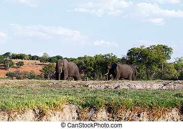 African Elephant in Chobe National Park - Portrait of...