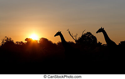 sunset and giraffes in silhouette in Africa, Namibia