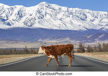 Bull on the road in Altai Republic