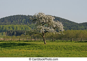 Apple tree in spring, Germany - Apple tree in spring, Lower...