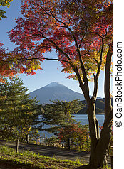 Maple leaves change to autumn color at MtFuji, Japan - This...