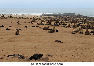 Cape fur seals - Colony of cape fur seals from Cape Point,...