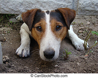 smooth Fox Terrier - a kind of smooth-haired Fox Terrier.the...