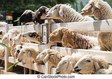 Sheep in farm at Ratchaburi, Thailand - Close up sheep in...