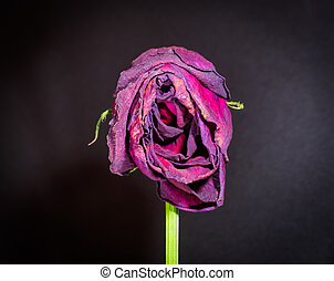 Single Dying Rose - Closeup of a vertical dying rose with...