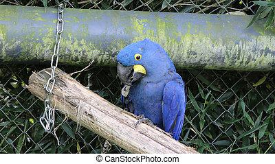 jacinto, macaw, ,
