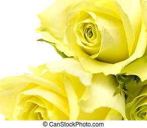 yellow-green rose flowers macro on white background