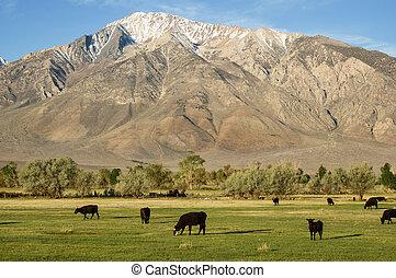 Cattle In Field Below Mountain - cattle grazing in a green...