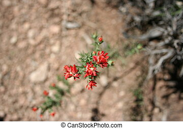 Grand Canyon Desert Flower - Small red flowers survive in...