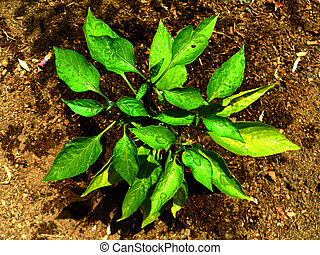 Jalapeño Plant - A young Jalapeño plant grows after being...