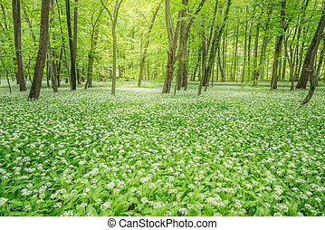 White flowers of the ramsons in the forest - White flowers...