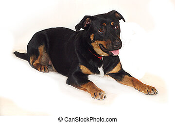 Cute expressive Rottweiler Crossbreed dog.
